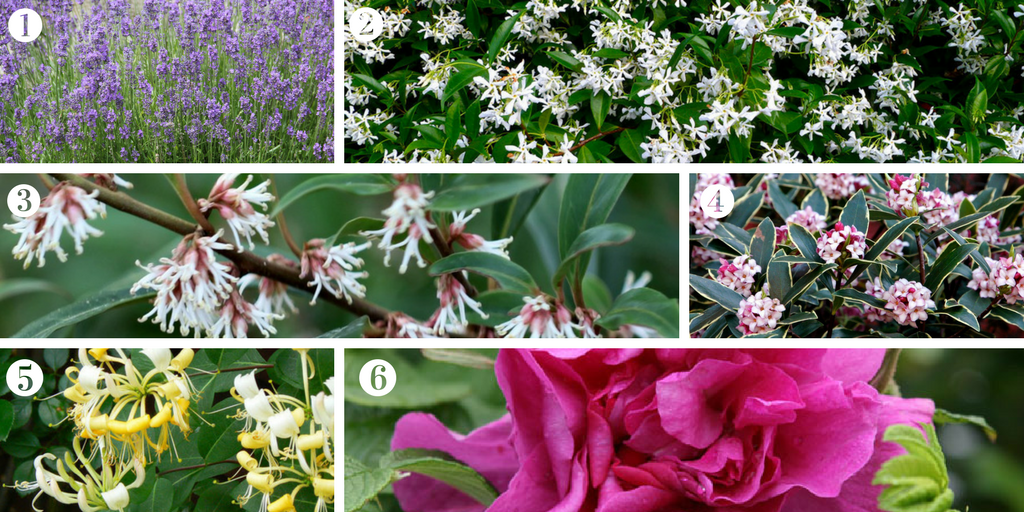 Create a 'fragrant garden' with these plants