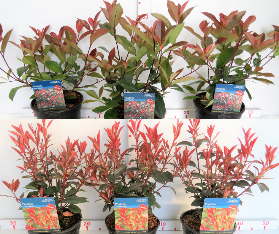 Photinia 'Red Robin' VS Photinia 'Carre Rouge': which is best