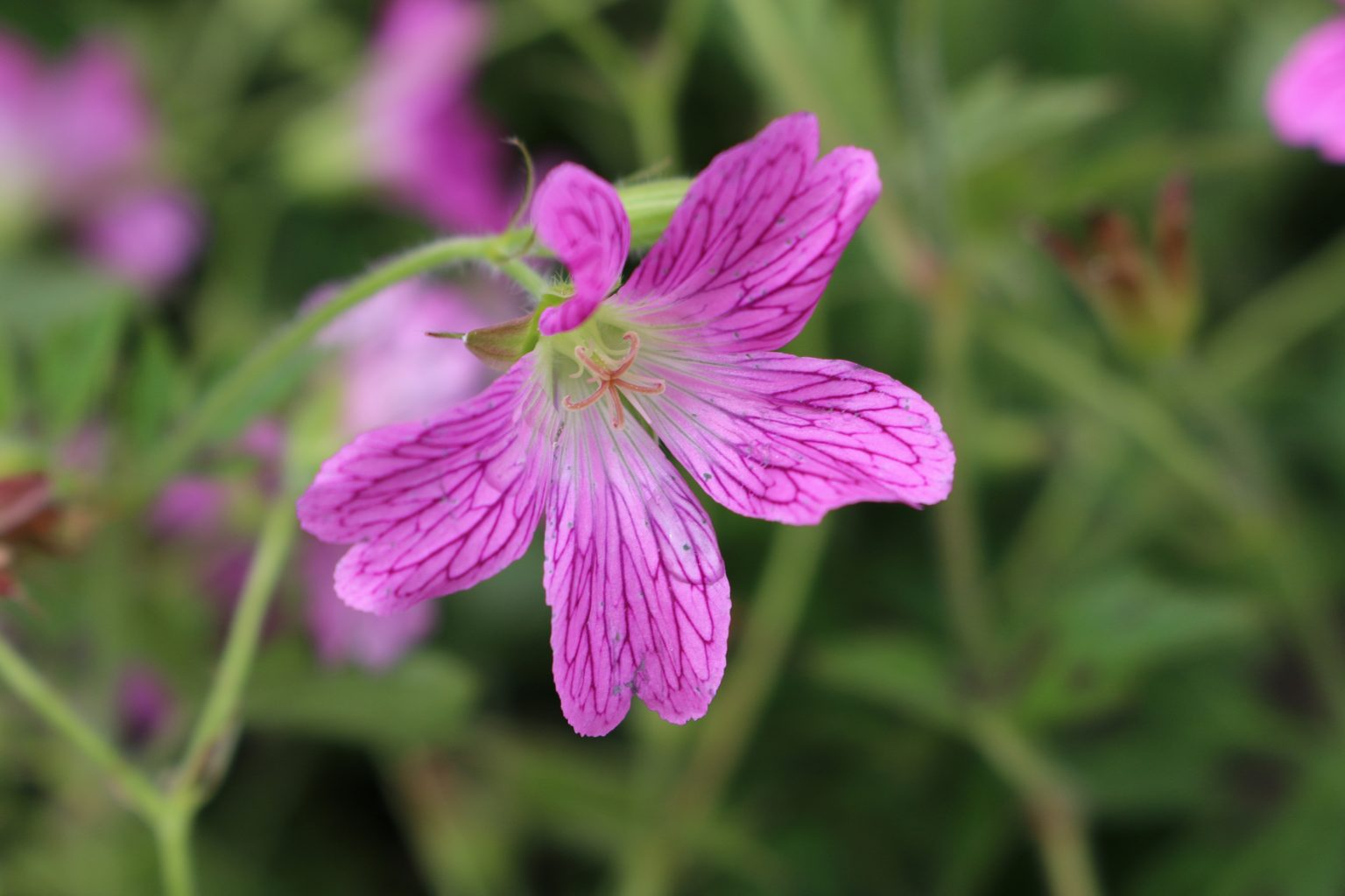 Gorgeous Geranium varieties