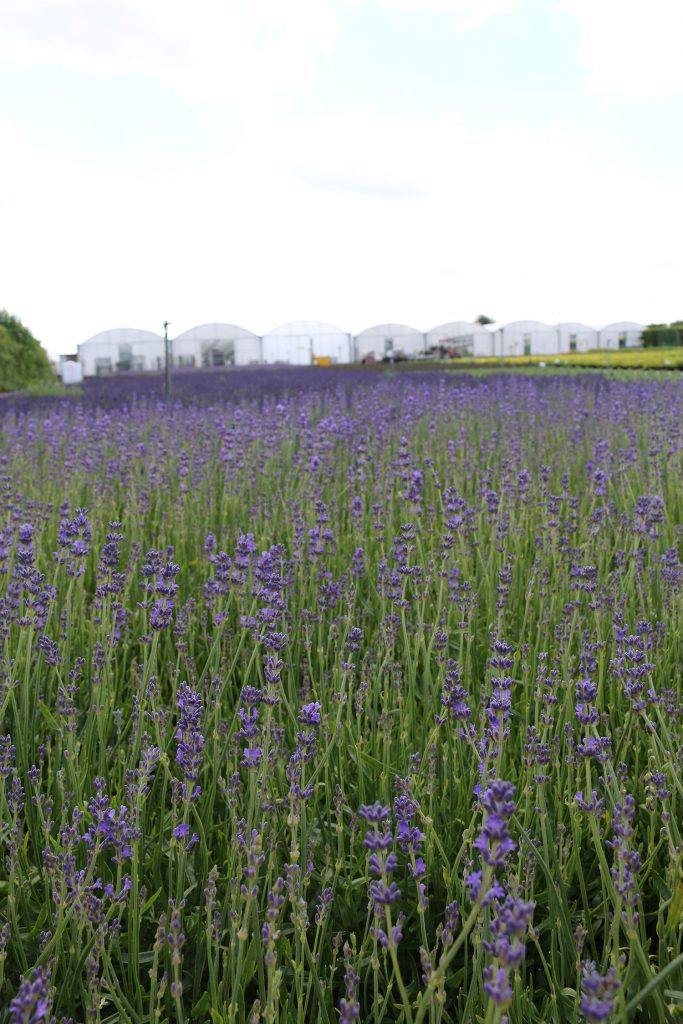 Lavender plants: our bestselling line for trade